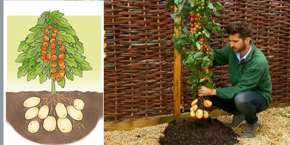 જાણો આ એક જાદુઈ છોડ વિશે..  જેમાં ટામેટા અને બટેટા બંને એક જ છોડમાં આવે છે.