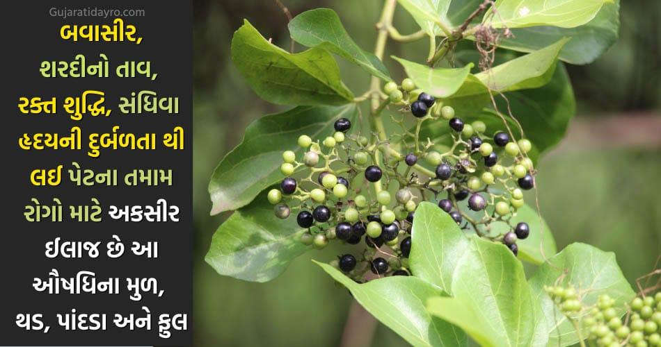 અરણી નામની આ અલૌકિક ઔષધીના ઉપયોગ જાણીને તમે ચોકી જશો… મોટી બીમારીઓને પણ જડથી દૂર કરે છે