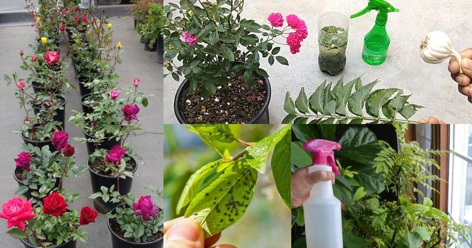 તમારા આંગણાના છોડને જીવજંતુ અને ફંગસથી દૂર રાખવા ઘરે જ બનાવી લો આ સ્પ્રે. મફતમાં મળી જશે છુટકારો…