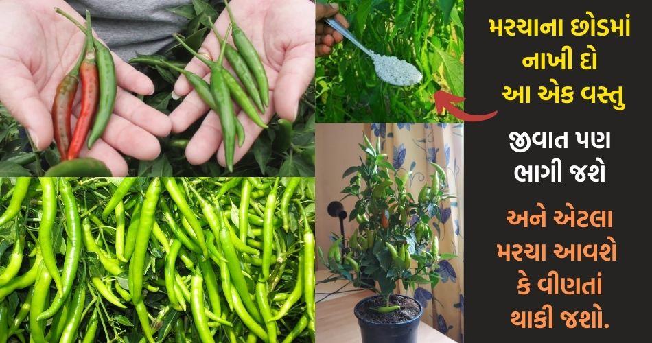 મરચાના છોડમાં નાખી દો આ એક વસ્તુ. એટલા મરચા આવશે કે વીણતાં થાકી જશો…